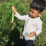 人参栽培が難しい場合、葉の長さを意識して育てます。