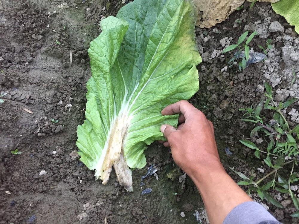 白菜の黄色くなった葉をよくみてみると腐っています。