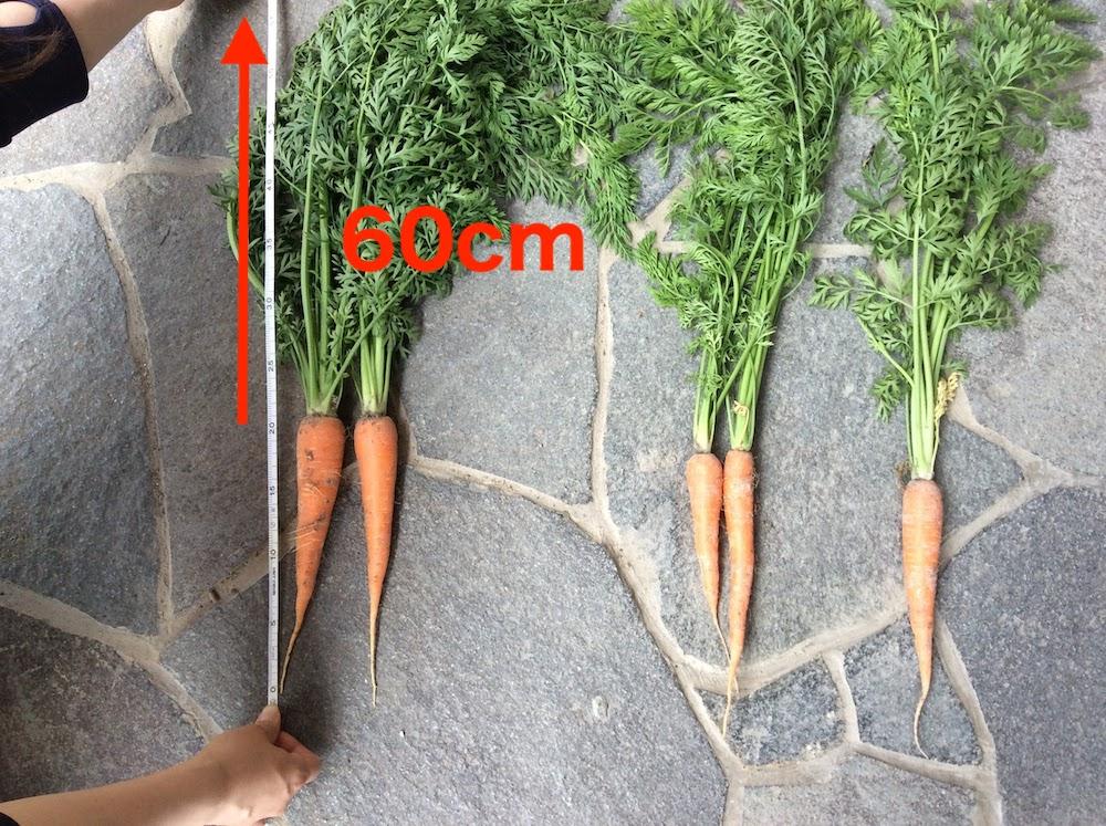 ニンジン栽培が難しい人は、人参の葉の長さが40cm以上、60cm超えてれば成功するあ