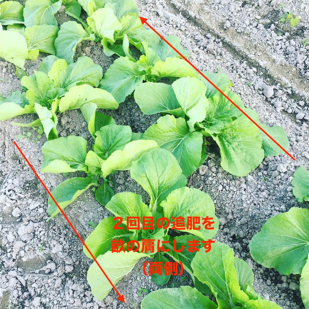 ハクサイの2回目の追肥は畝の両肩にします。
