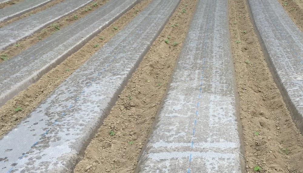 透明マルチをすることで除草の効果があります。人参づくりに役立つ。