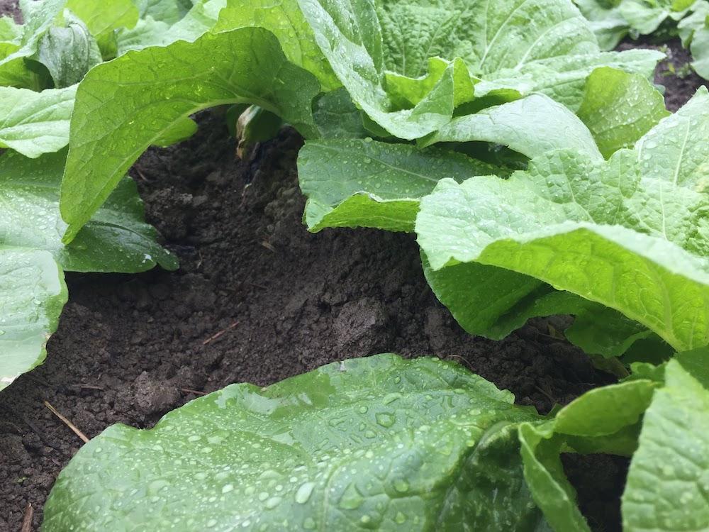 ハクサイの土寄せをすると、こうなります。