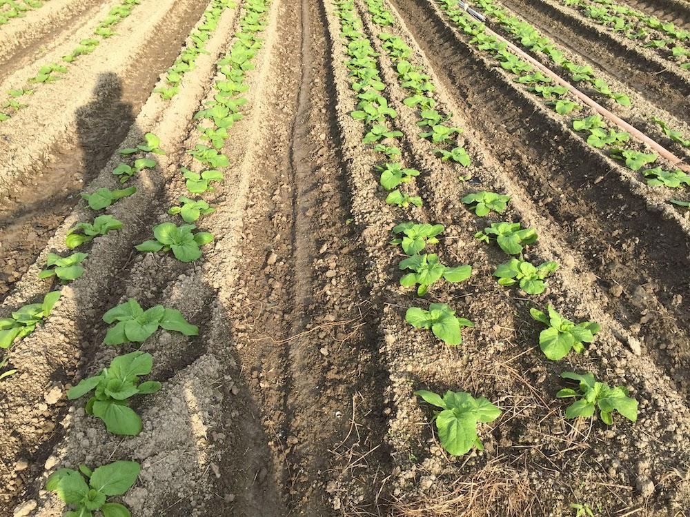 ハクサイ栽培は、植える日にちと周りの雑草をなくすことが大切