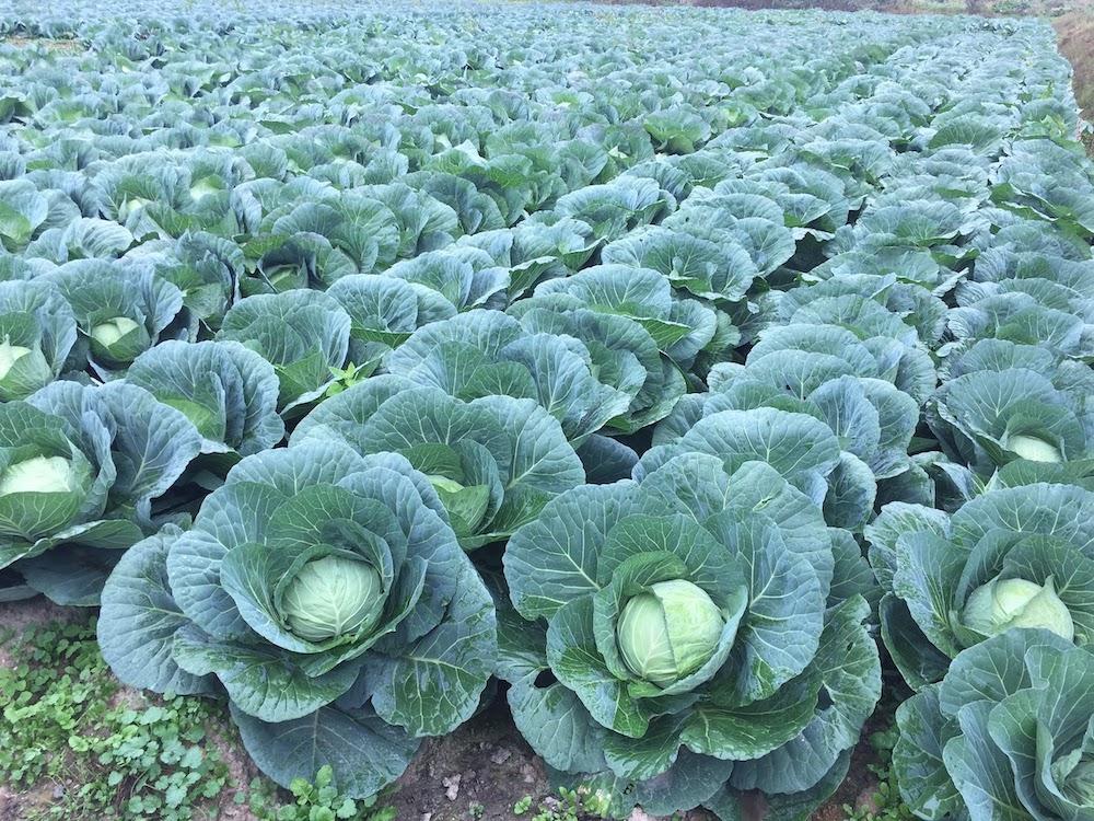 家庭菜園のキャベツ栽培をプロ農家が事細かに解説します
