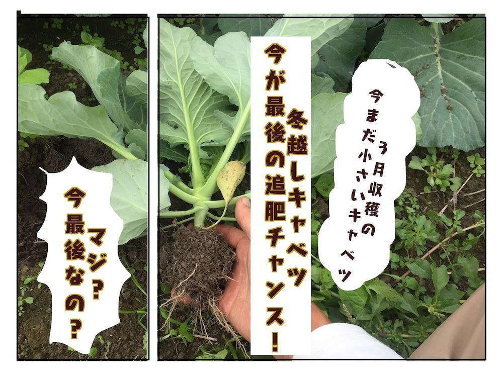 キャベツを大きく育てる栽培法