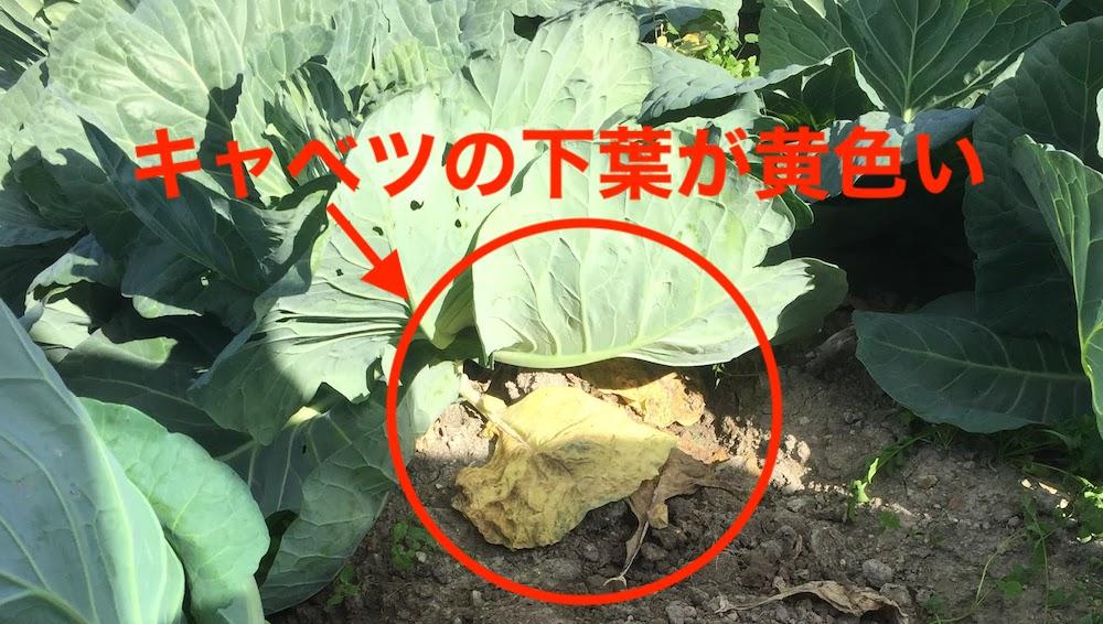 キャベツの下葉が黄色い。肥料が切れてきている?