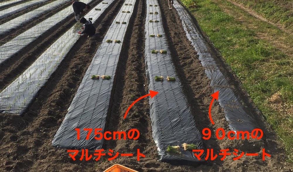 家庭菜園でオススメは90cmの黒いマルチシート