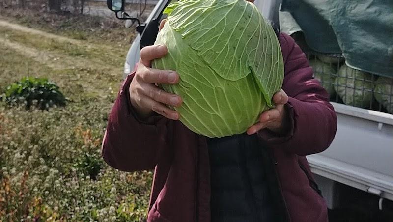 キャベツを肥料切れさせないことで、ここまで大きいキャベツを収穫することができます。