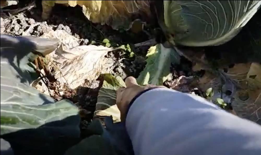 キャベツの肥料切れには、乾燥し過ぎもあります。