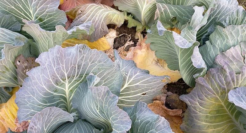 キャベツの下の葉が黄色い。確実に肥料切れしています。