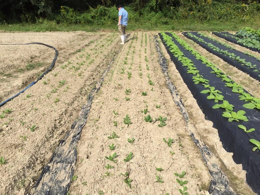 マルチシートを使い、保水、保温、雑草防止をします。