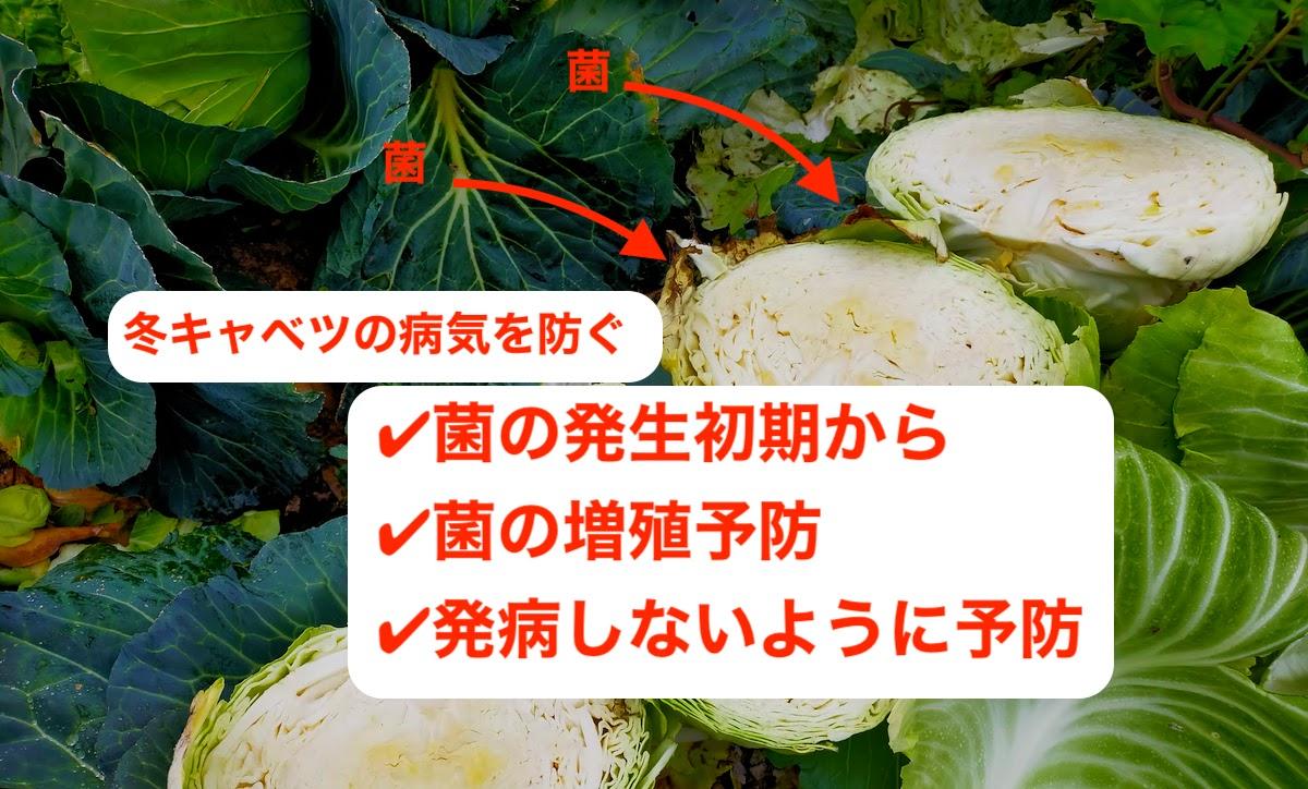 冬キャベツの病気を予防するために、菌を増やさないようにする
