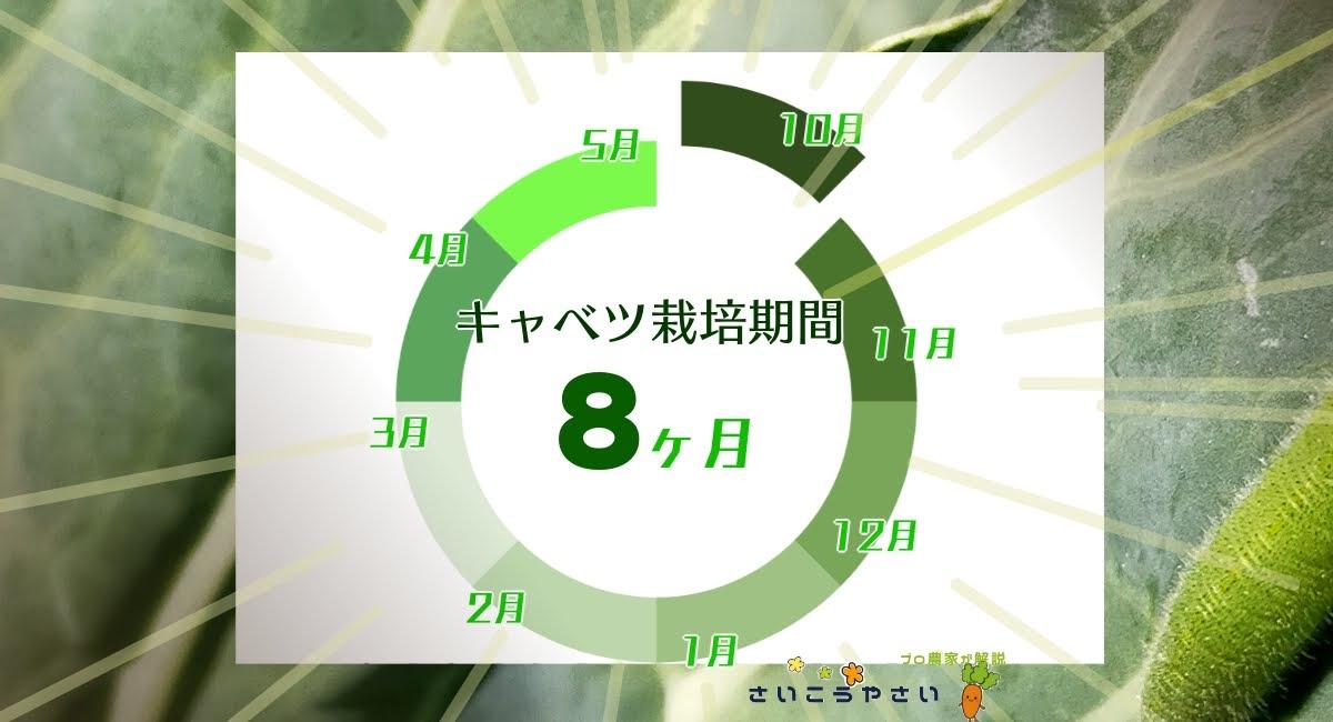 キャベツの栽培期間は8ヶ月