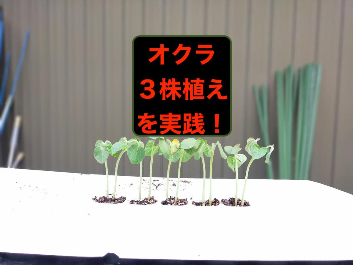 オクラの苗3株植えでオクラ大量収穫